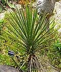 Yucca periculosa 1.jpg