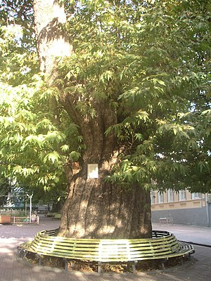 Zaqatala (city) - A plane tree in one of Zaqatala's public parks.
