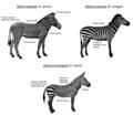 Zebra species (ITA).png