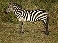 Zebras in Tanzania 3945 Nevit.jpg