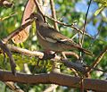 Zenaida asiatica-- the White-winged Dove (24009202114).jpg