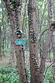 Zizyphon jujubum (Zizyphu jujuba var. spinosus) - Chengdu Botanical Garden - Chengdu, China - DSC03604.JPG