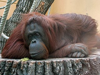 Bornean Orangutan photo by Zyance from Wikimedia Commons