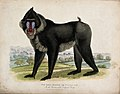 Zoological Society of London; a Simia mormon or tufted ape. Wellcome V0023093.jpg