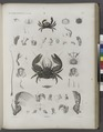 Zoologie. Crustacés. Crabes (NYPL b14212718-1268556).tiff