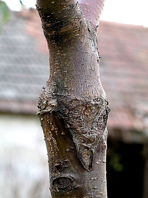 "Grafting - Cherry tree, consolidated ""V"" graft"
