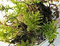 Zz Plagiomnium undulatum plant 3.jpg