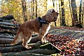 """Bill"" - Cocker spaniel anglais 9.JPG"