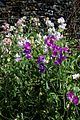 'Lathyrus odoratus' pale pink and white, and purple Sweet peas in Walled Garden of Parham House, West Sussex, England.jpg