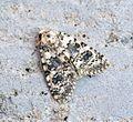 (2293) Marbled Beauty (Cryphia domestica) - Flickr - Bennyboymothman (1).jpg