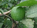 (Citrus latifolia) lemon fruit at Madhurawada 1.jpg