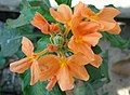 (Crossandra infundibuliformis) fire cracker flower at Kakinada 02.JPG