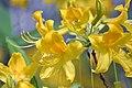 Азалія понтійська – суцвіття.jpg
