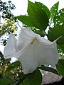 Бругманзия-древовидная-цветок.jpg