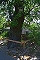 Дуб Красицького DSC 0932.jpg