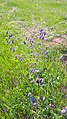 Ковила і якась невідома мені дуже гарна рослина. Одеська область. Кінець травня 2017 року.jpg
