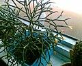 Неизвестное комнатное растение.jpg