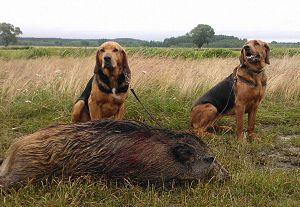 Polish Hound - Polish hounds in Russia with a wild boar carcass.