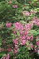 Рододендрон розовый в Минском ботаническом саду.jpg