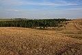 Сосновая лесопосадка в степи - panoramio.jpg