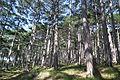 Хвойний ліс.JPG