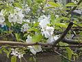 Цветок груши обыкновенной.jpg