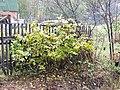 Элеутеррококк колючий осенью на даче ф2.jpg