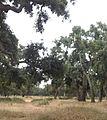 غابة معمورة.jpg