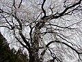 内出の桜 - panoramio.jpg