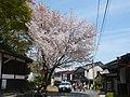 吉野山にて Cherry tree in Yoshinoyama 2011.4.21 - panoramio.jpg