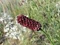 地榆 Sanguisorba officinalis -英格蘭 Wisley Gardens, England- (9204819385).jpg