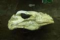 大唇犀 Chilotherium 3.jpg