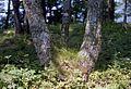 小谷城址 - panoramio - shikabane taro.jpg