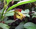 忍冬屬 Lonicera involucrata -比利時 Ghent University Botanical Garden, Belgium- (9213294261).jpg