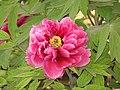 日本牡丹-日向 Paeonia suffruticosa Hyuuga -洛陽王城公園 Luoyang, China- (12496569384).jpg