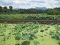 江山石门镇清漾村的荷花池 - panoramio.jpg
