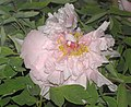 牡丹-仙女散花 Paeonia suffruticosa 'Fairy Scattering Flowers' -洛陽王城公園 Luoyang, China- (12427945183).jpg