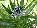 纖毛水甘草 Amsonia ciliata -維也納大學植物園 Vienna University Botanical Garden- (27899082694).jpg