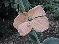 罌粟屬 Papaver spicatum -牛津大學植物園 Oxford Botanic Garden- (9157035837).jpg