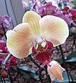 蝴蝶蘭 Phalaenopsis Solid Gold -荷蘭園藝展 Venlo Floriade, Holland- (9252382461).jpg