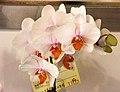 蝴蝶蘭 Phalaenopsis Taida Pearl x Hsinying Hall -台南國際蘭展 Taiwan International Orchid Show- (39129453080).jpg