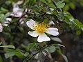 軟條七薔薇(小金櫻) Rosa henryi -香港嘉道理農場 Kadoorie Farm, Hong Kong- (9240256804).jpg