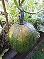 -2019-08-23 Field pumpkin, Trimingham, Norfolk (2).JPG