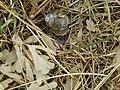 -2020-06-05 Kentish Snail (Monacha-cantiana), Bacton, Norfolk.JPG
