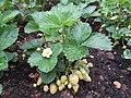 -2020-06-06 Strawberry plant with unripe fruit, (Fragaria × ananassa), Trimingham.JPG