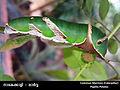 017.Common Mormon Caterpillar (Brijesh Pookkottur).jpg