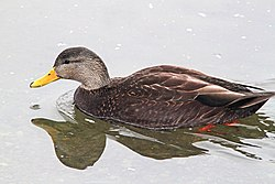 028 - AMERICAN BLACK DUCK (2-19-11) Quidi Vidi Lake, St John's, Newfoundland (8710694225).jpg