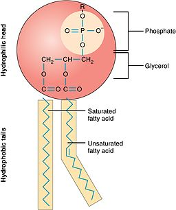 0301 Phospholipid Structure
