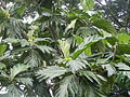 04224jfSanto Rosario La Purisima Artocarpus altilis Aliaga Nueva Ecijafvf 25.JPG
