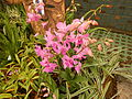 05441jfMidyear Philippine Orchid Show Quezon Memorial Circlefvf 06.JPG